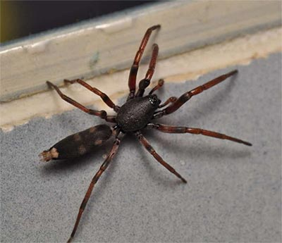 spider-control-white-tail